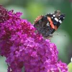 Buddleja vlinder klein