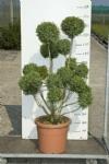 bonsai140
