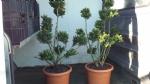 ilex bonsai in pot
