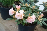 Rhododendron ' Dusty Miller'