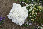 Rhododendron 'Maischnee'