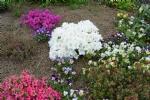 Rhododenron obtusum 'Maischnee'