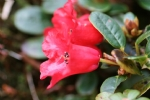 Rhododendron forestii