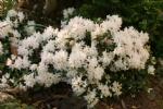 Rhododendron 'Jari'