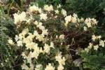Rhododendron keiskei procumbens