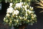 Rhododendron obtusum 'Maischnee'