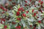 Rhododendron 'Hot Shot Variegata'