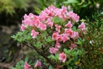 Rhododendron camp. 'Patricia'