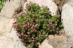 Rhododendron myrtolloides