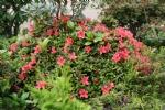 Rhododendron 'Mount Sevenstars'
