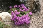 Rhododendron keleticum