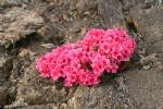 Rhododendron obtusum 'Chipmuck Hexenbesen'