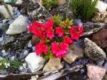 Rhododendron 'Maruschka'