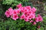 Rhododendron 'Vidar brown'