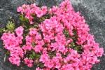 Rhododendron obt. 'Chipmuck Hexenbesen'