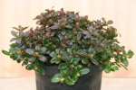 Rhododendron 'Wren'