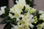 Rhododendron 'Curlew'