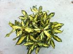 Rhododendron x 'Goldblatt'