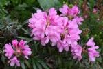 Rhododendron 'Graziella'