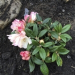 Rhododendron (Y) 'Dusty Miller'