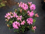 Rhododendron ferrugineum 'Tottenham'