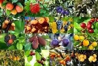 Vruchtbomen