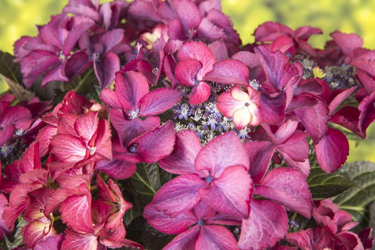 Hydrangea macr. Dark Angel® paars 23cm. (5ltr.)