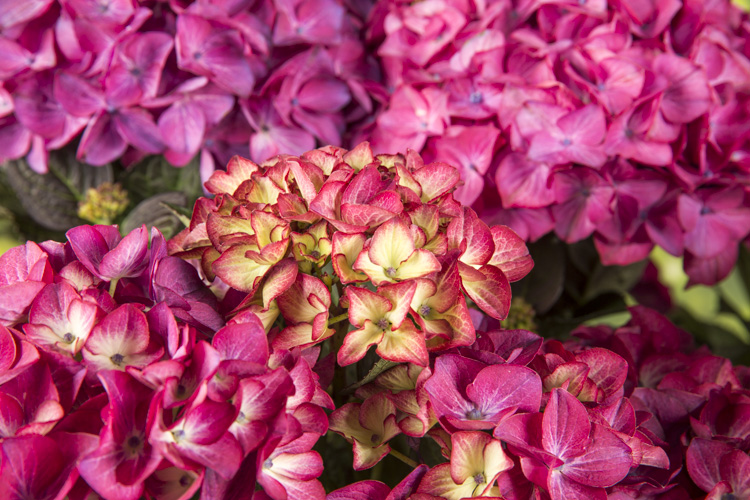 Hydrangea macr. Red Angel® paars 23cm. (5ltr.)