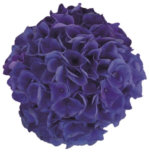 Hydrangea macr. Blue Ballad® P23 / 5ltr.