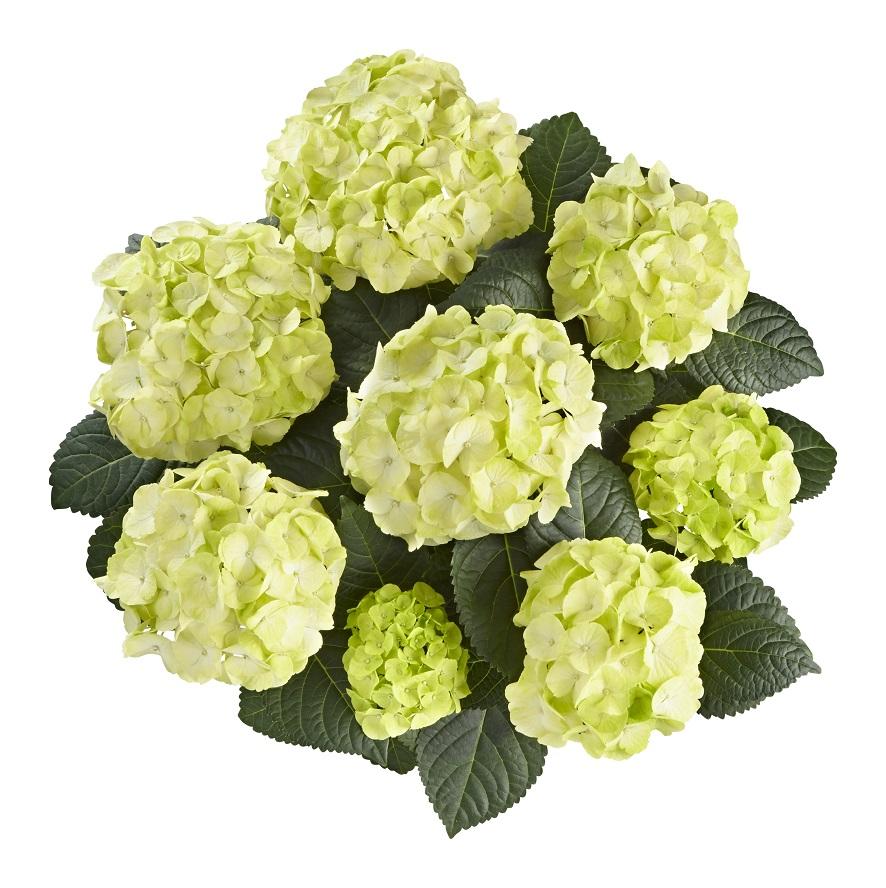 Hydrangea macr. Caipirinha® P23 / 5ltr.