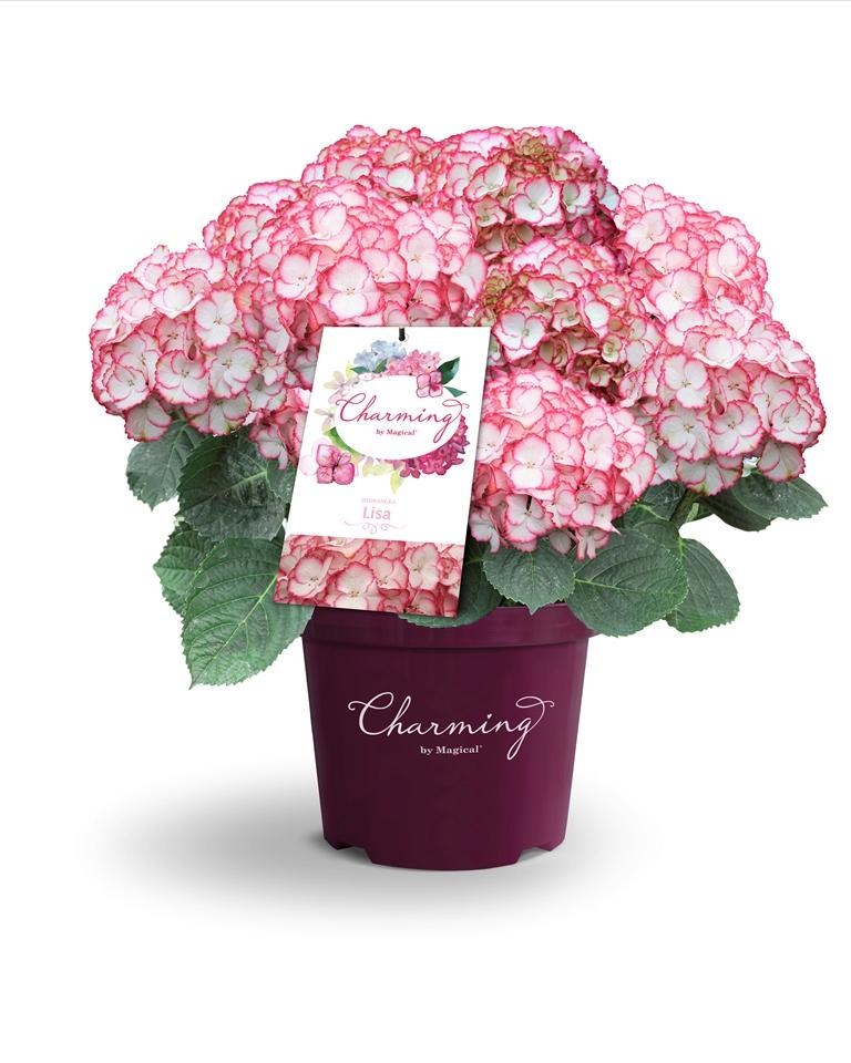 Hydrangea Charming Alice®
