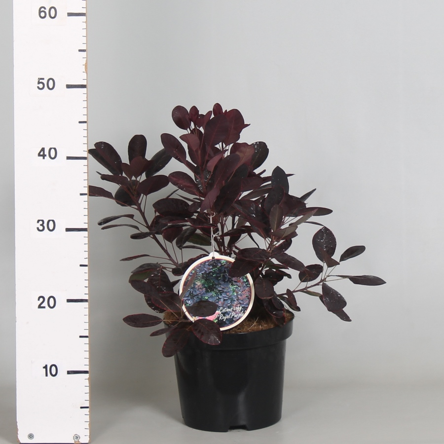 Cotinus cogg. Royal Purple 19cm. (3ltr.)