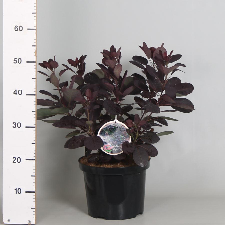 Cotinus cog. Royal Purple 23cm. (5ltr.)