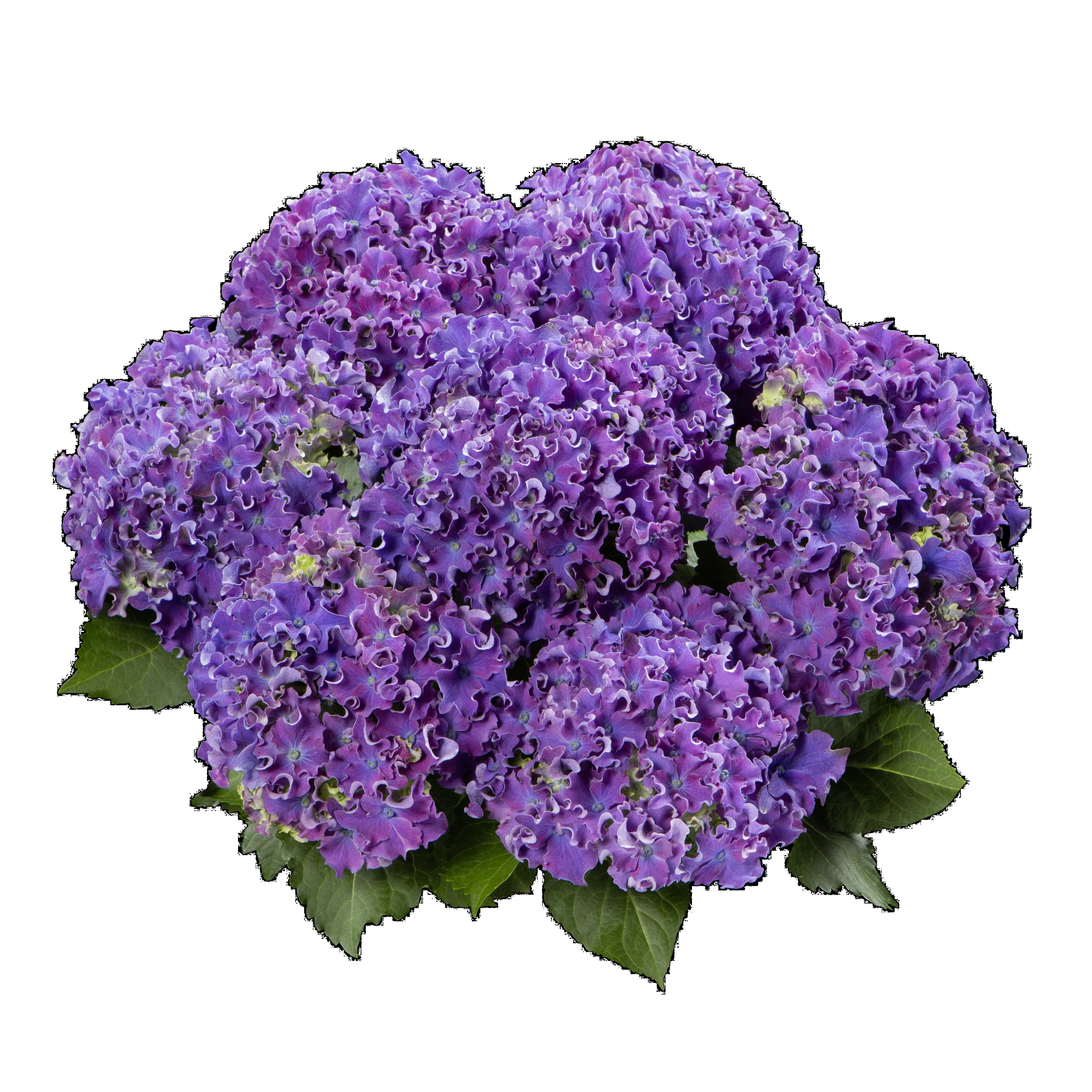Hydrangea macrophylla Curly® Sparkle Blue P23/5ltr