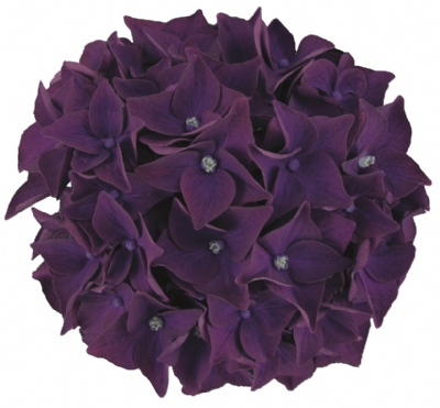 Hydrangea-macr-Deep-Purple-Dance®-P23-/-5ltr