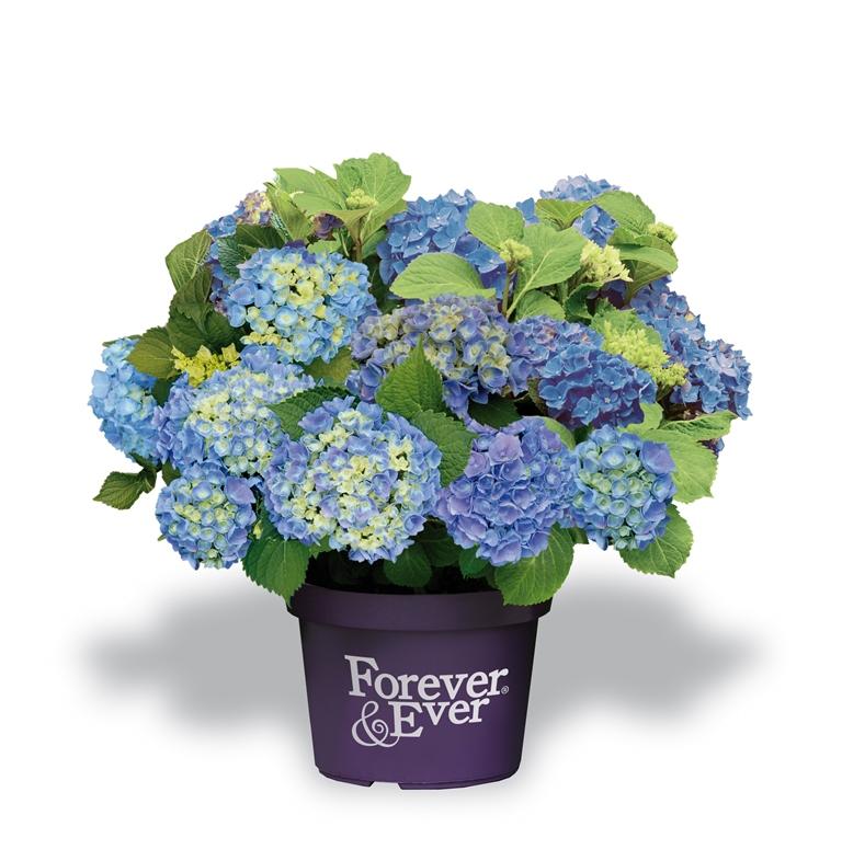 Hydrangea-macr-Forever--Ever-Blue-P23-/-5ltr