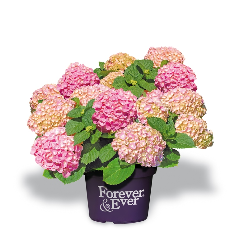 Hydrangea-macr-Forever--Ever-Pink-P23-/-5ltr