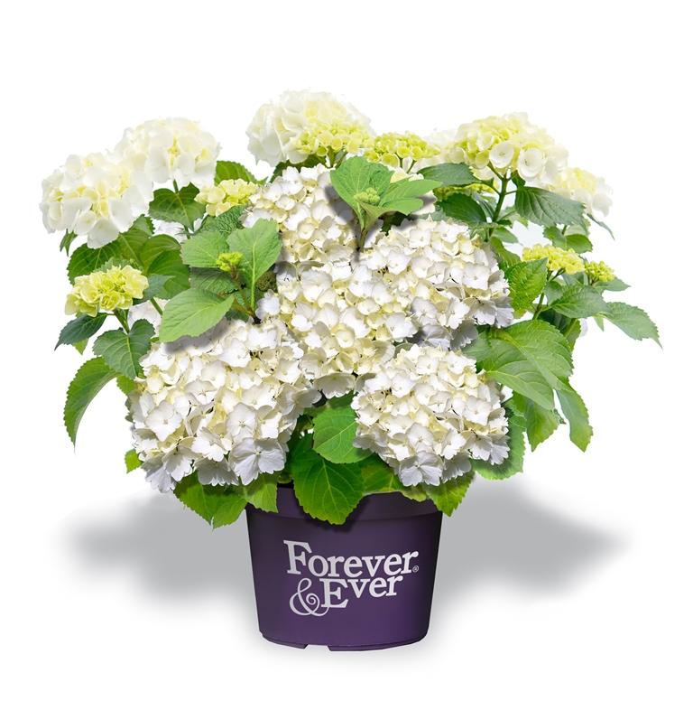 Hydrangea-macr-Forever--Ever-White-P23-/-5ltr