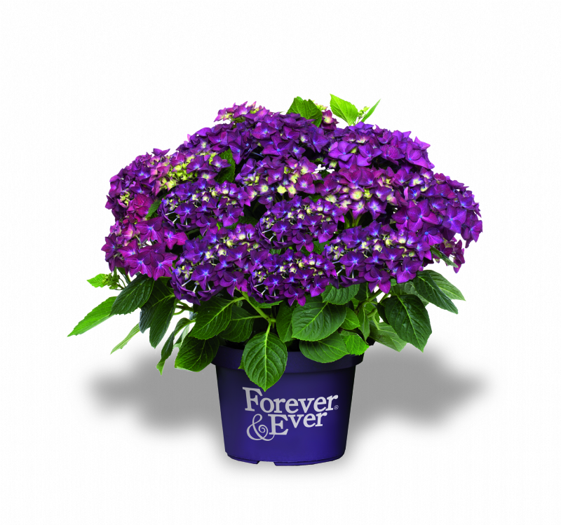 Hydrangea-macr-Forever--Ever-Purple-P23-/-5ltr