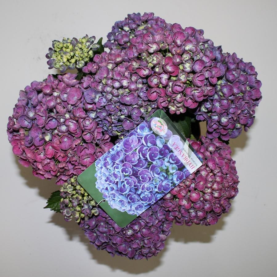 Hydrangea macr. Hovaria® ''Hopcorn'' P23 / 5ltr.