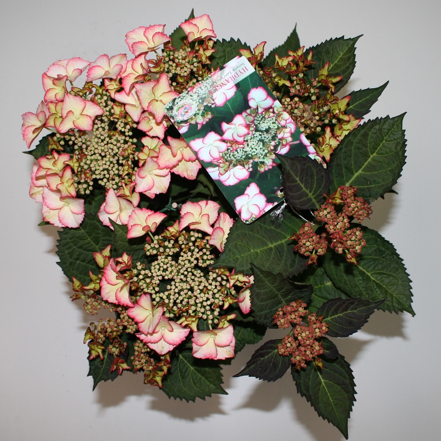 Hydrangea macr. Hov.® ''Love you Kiss'' P23 / 5ltr.