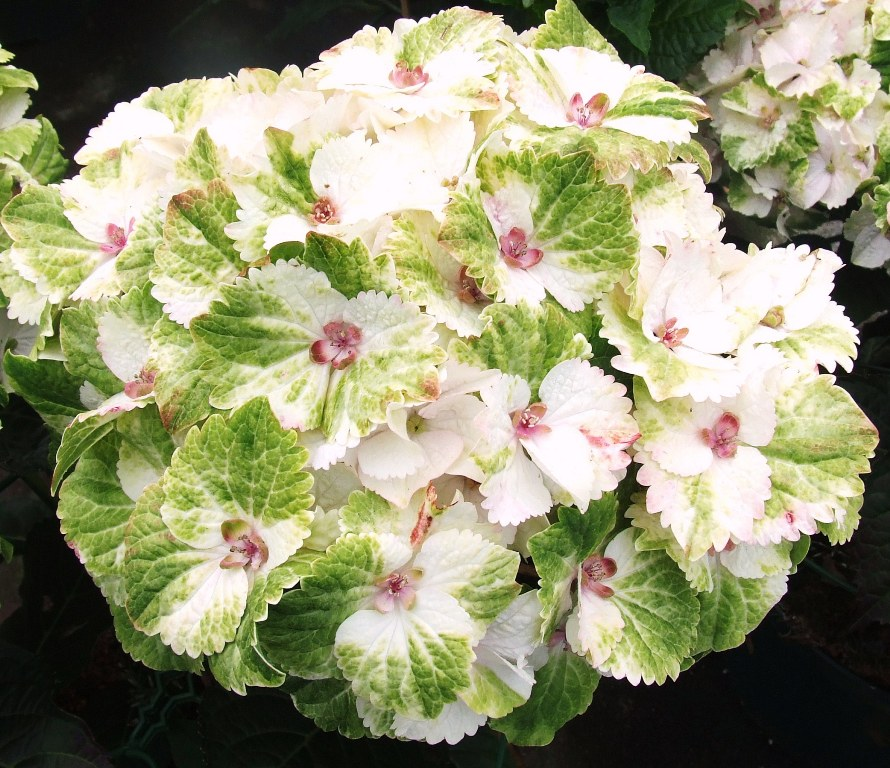 Hydrangea-macr-Magical®-Noblesse®-P23-/-5ltr