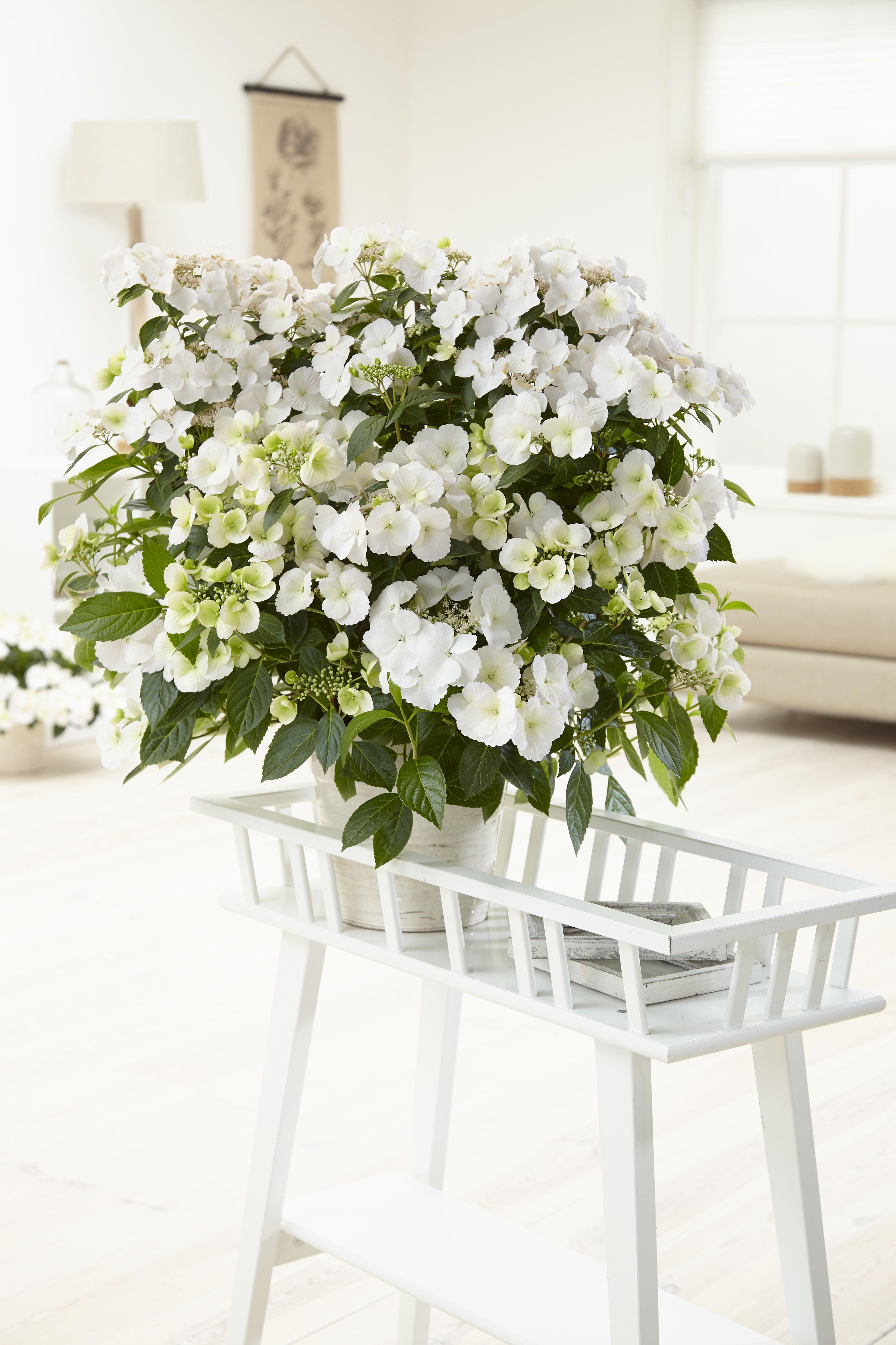 Hydrangea Hybr. Runaway Bride®