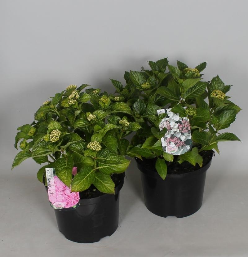Hydrangea macr. / teller in kleuren 23cm. (5ltr.)