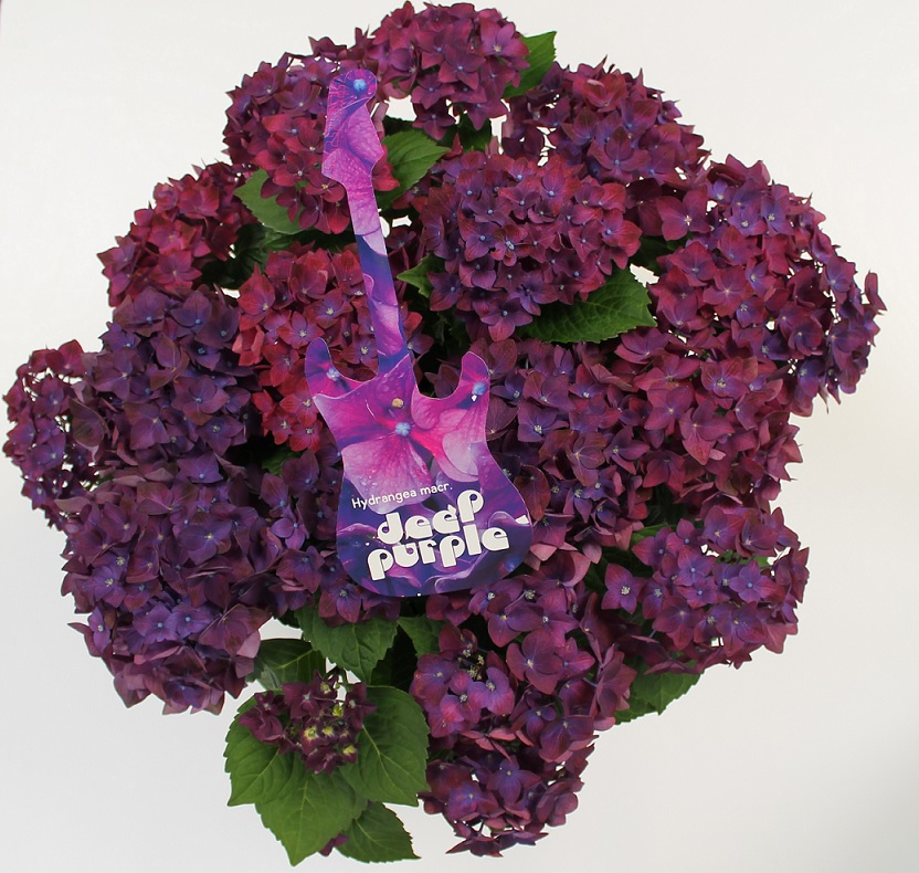Hydrangea macr. Deep Purple Dance® P23 / 5ltr.