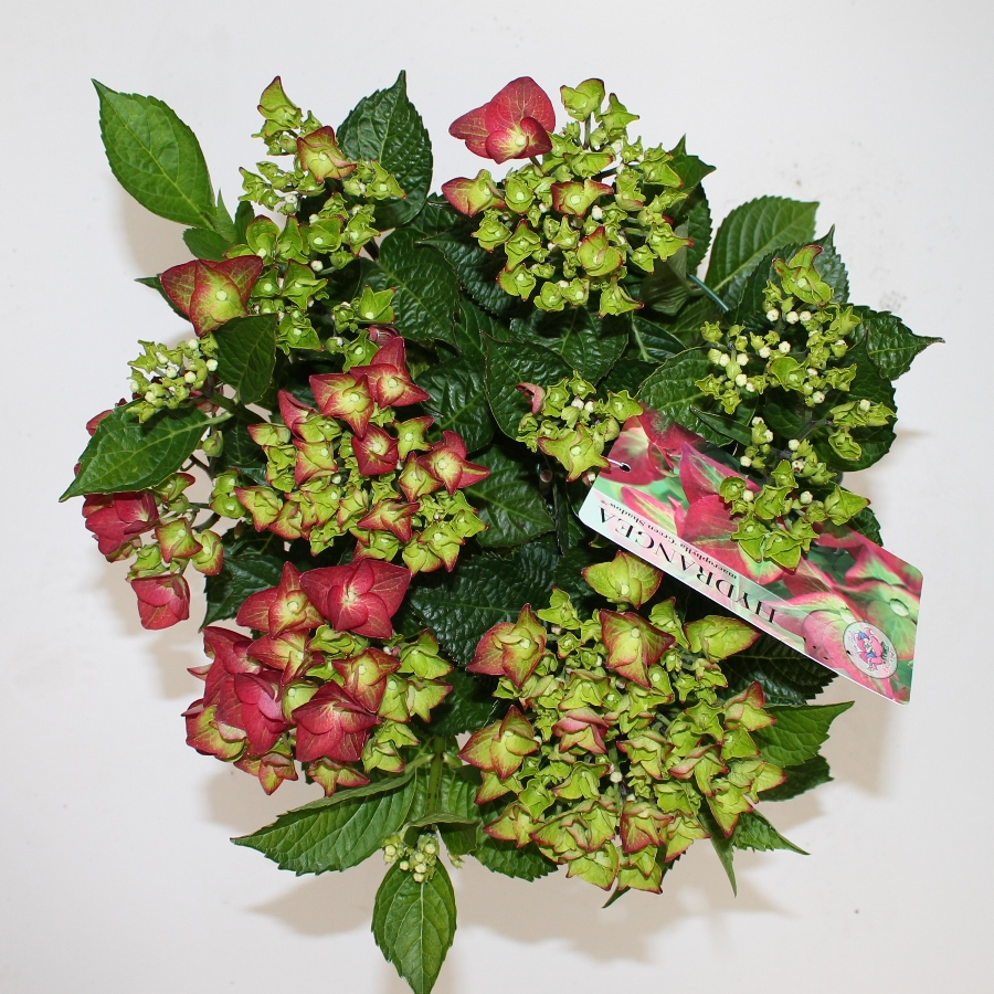 Hydrangea macr. Green Shadow® P23 / 5ltr.