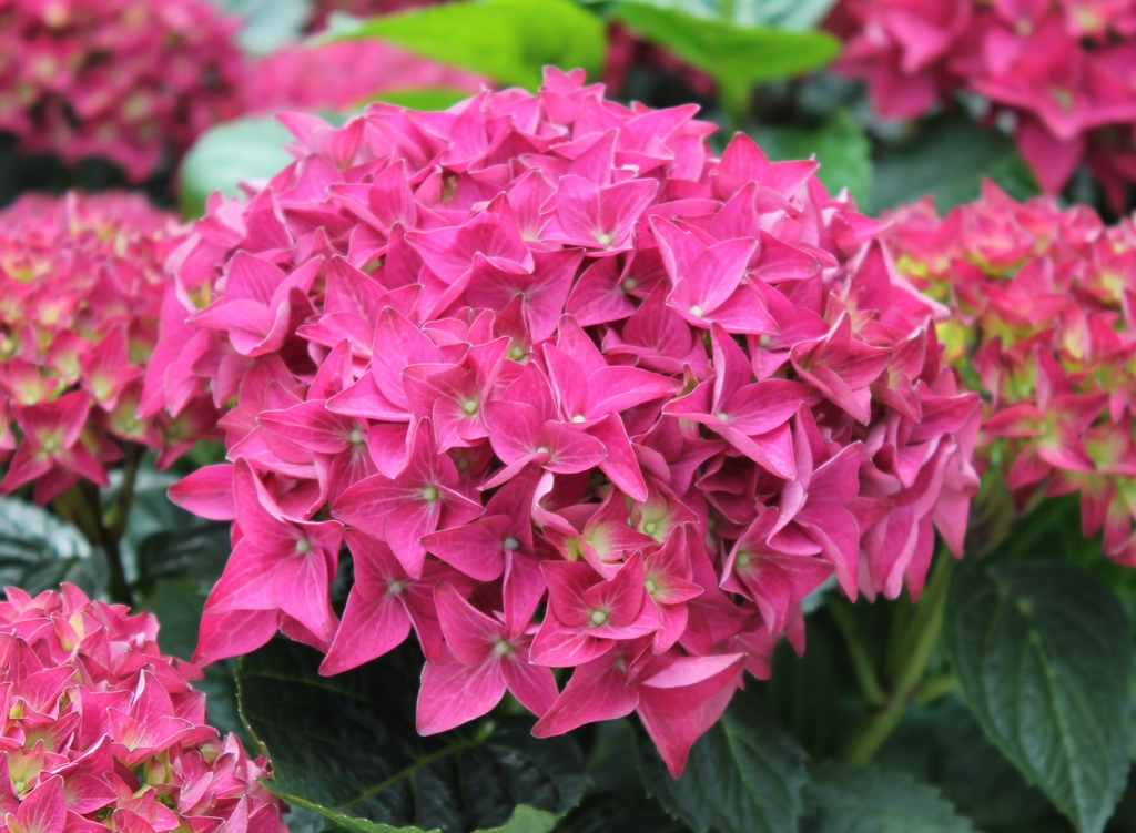 Hydrangea-macr-Hovaria®-''Hobergine''-P23-/-5ltr