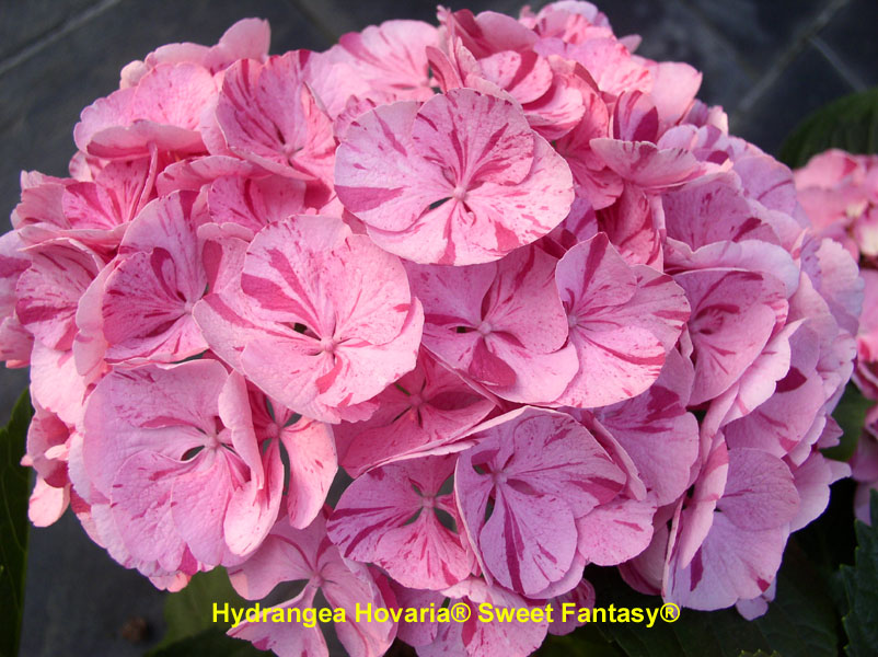 Hydrangea-macr-Hov®-''Sweet-Fantasy''-P23-/-5ltr