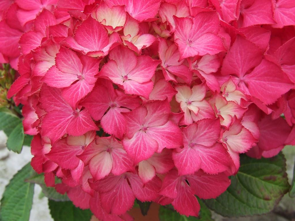 Hydrangea macr. Selma® P23 / 5ltr.