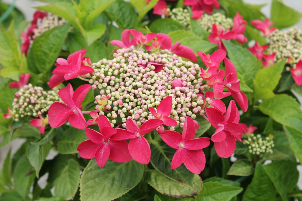 Hydrangea-teller-Lady-in-Red®-P23-/-5ltr